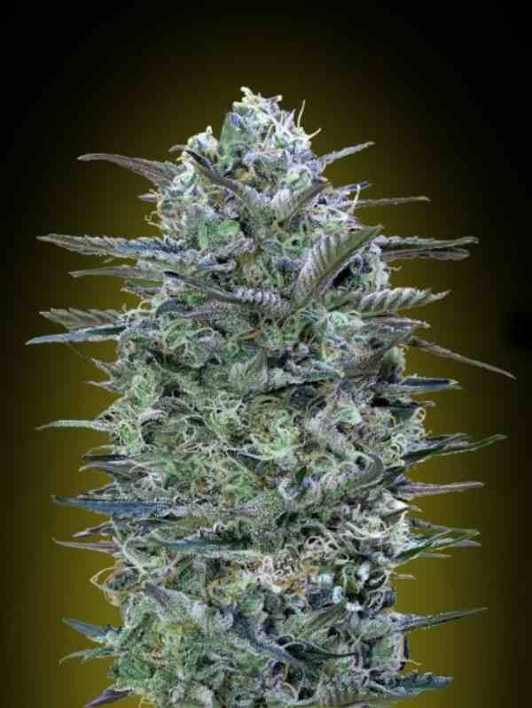 🌱Semilla de Marihuana Critical Lemon - Semillas de Marihuana Critical Lemon Advanced Seeds