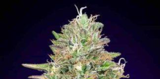 Critical Poison Fast Version - Semilla de Marihuana Critical Poison Fast Version