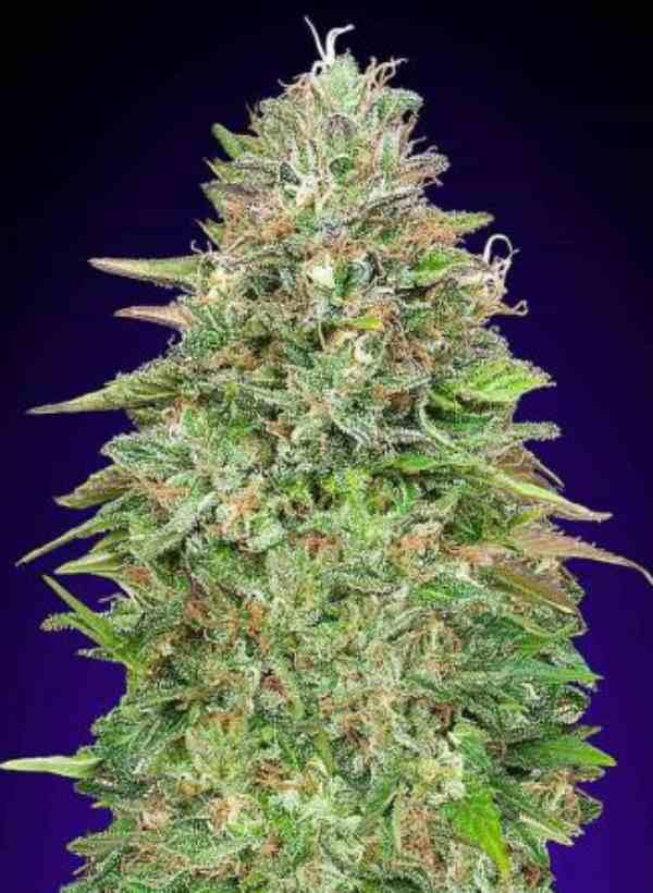 Critical Poison - Semilla de Marihuana Critical Poison