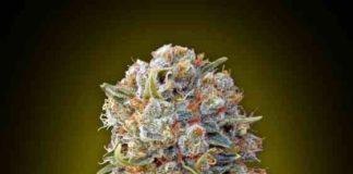 Sweet Critical - Semilla de Marihuana Sweet Critical
