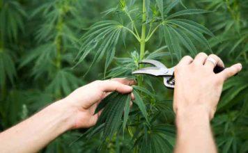 Cosecha Antes de Tiempo- Cosechar Marihuana antes de Tiempo