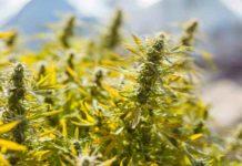 Terpenos de la Marihuana - Buenos los Terpenos de la Marihuana