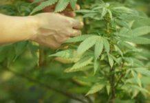 Diferentes Aromas y Sabores de la Marihuana