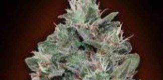 Sweet Soma - Semilla de Marihuana Sweet Soma