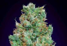 Auto Blueberry - Semilla de Marihuana Auto Blueberry