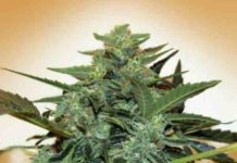 Auto Cheese Berry - Semilla de Marihuana Auto Cheese Berry