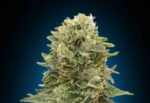 Auto Sweet Critical - Semilla de Marihuana Auto Sweet Critical
