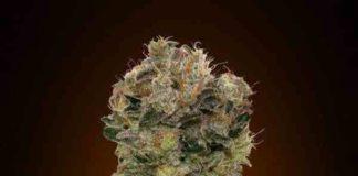 Auto Sweet Soma - Semilla de Marihuana Auto Sweet Soma