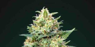 Auto White Widow - Semilla de Marihuana Auto White Widow