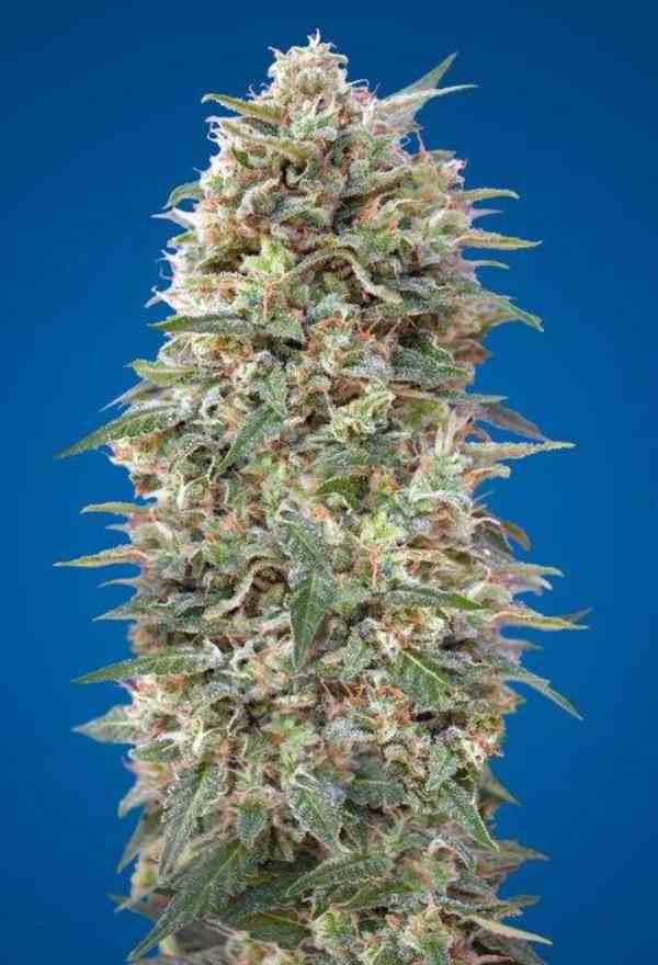 Auto California Kush - Semilla de Marihuana Auto California Kush