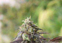 707 Headband - Semilla de Marihuana 707 Headband