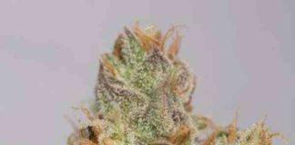 Semilla de Marihuana 707 Truthband by Emerald Mountain