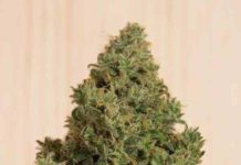 Blue Dream CBD - Semilla de Marihuana Blue Dream CBD