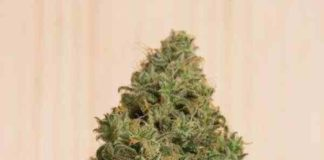 Blue Dream CBD - Semilla de Marihuana Blue Dream CBD
