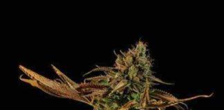 Blueberry Headband - Semilla de Marihuana Blueberry Headband