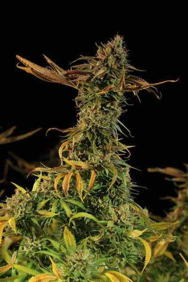 Blueberry Headband - Semilla de Marihuana Blueberry Headband