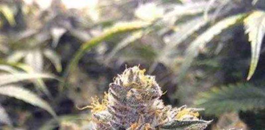 Bubba's Gift - Semilla de Marihuana Bubba's Gift