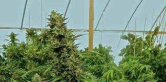 Chemdawg - Semilla de Marihuana Chemdawg