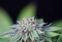 Ewe-2 - Semilla de Marihuana Ewe-2