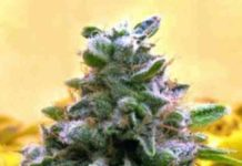 Auto Top 69 - Semilla de Marihuana Auto Top 69