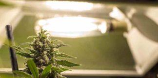 ¿Cómo no Estresar a las Plantas de Marihuana en el Cultivo de Interior?