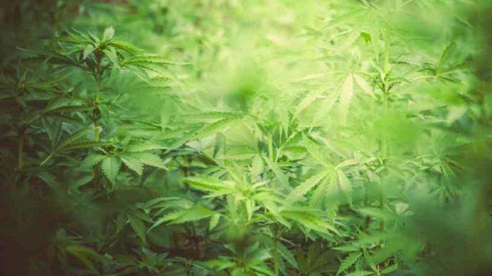 No a la Represión de la Marihuana, Legalización y Autocultivo Marihuana