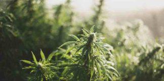 Marihuana Medicinal Moverá el Mundo - Planta de Marihuana