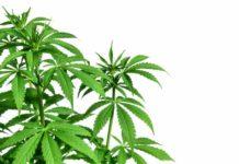 Aumentan los Empleos en Canadá por la Legalización de la Marihuana