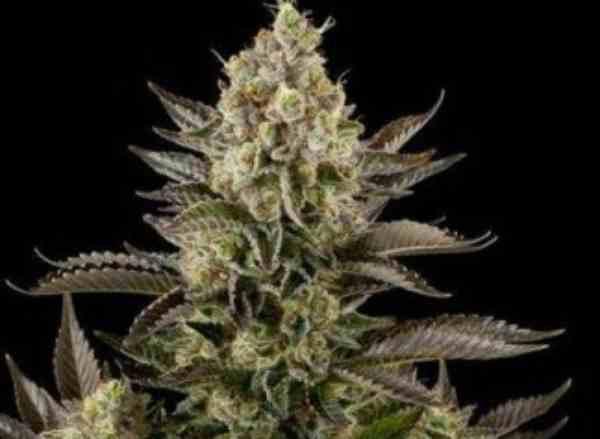 Old White Widow - Semilla de Marihuana Old White Widow