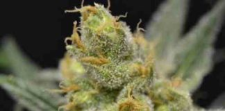 Super Shark - Semilla de Marihuana Super Shark