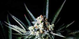 Amazing Auto - Semilla de Marihuana Amazing Auto