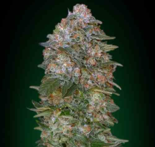 Critical Soma - Semilla de Marihuana Critical Soma