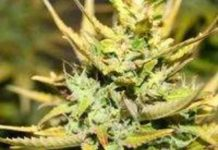 Leonarda - Semilla de Marihuana Leonarda