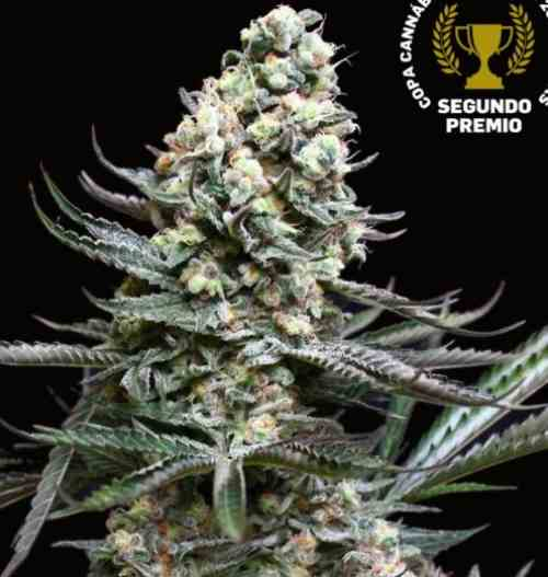 Nordés - Semillas de Marihuana Nordés