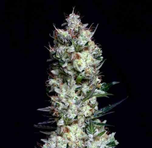 Rittus Haze - Semilla de Marihuana Rittus Haze