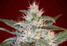 Kaya 47 - Semilla de Marihuana Kaya 47