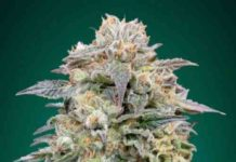 Shark Widow CBD - Semilla de Marihuana Shark Widow CBD