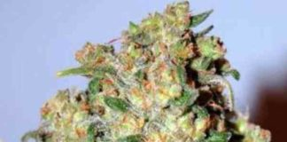Critical - Semilla de Marihuana Critical