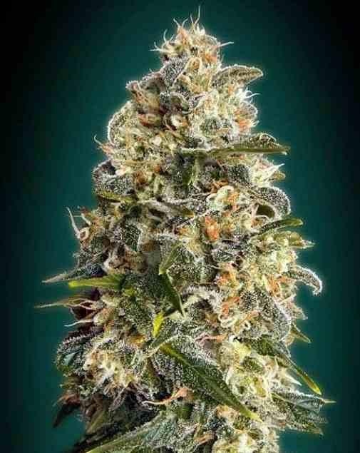 Heavy Bud - Semillas de Marihuana Heavy Bud