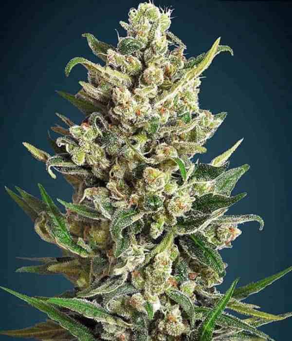 Ice Kush - Semilla de Marihuana Ice Kush