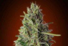 Kali 47 - Semilla de Marihuana Kali 47