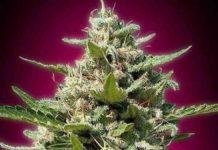 White Kush - Semilla de Marihuana White Kush