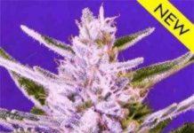 Semilla de Marihuana Ice Bomb del Banco Bomb Seeds