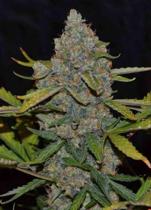 Semilla de Marihuana Auto CBGdel Banco Cannabiogen