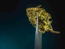 Despenalización de la Marihuana o Legalización de la Cannabis