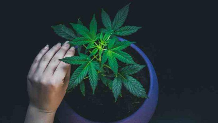 Legislación sobre el Cultivo de Marihuana - Legislación sobre la Posesión de Marihuana