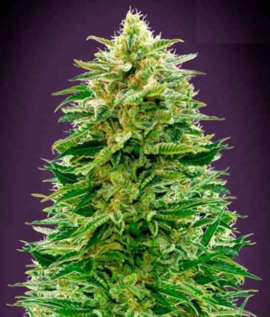 Auto Amnesia - Semillas de Marihuana Auto Amnesia