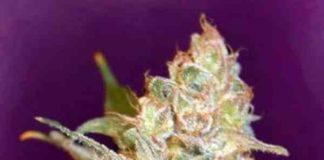 Black Diesel - Semillas de Marihuana Black Diesel