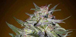 Jack Plant - Semillas de Marihuana Jack Plant