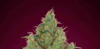 Strawberry Gum - Semilla de Marihuana Strawberry Gum